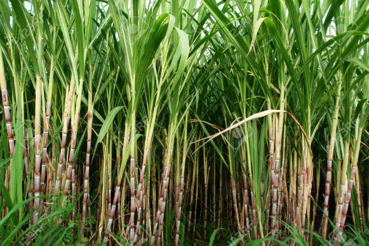 965369-sugar-cane-fields-culture-tropical-and-planetary-stake-on-biocarburant-stock-photo
